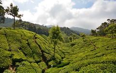 India - Kerala - Munnar - Tea Plantation - 44 (asienman) Tags: india kerala munnar teaplantagen asienmanphotography