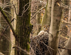 Momma watching over the kids.... (Kevin Povenz Thanks for all the views and comments) Tags: 2018 march kevinpovenz westmichigan michigan ottawa ottawacounty ottawacountyparks grandravinesnorth evening nest owl owls owlet greathornedowl tree woods nature wildlife outdoors outside canon7dmarkii sigma150500