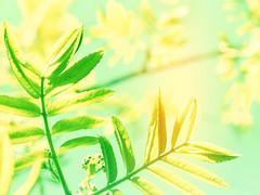 (mintukka) Tags: leaf leaves nature green summer fresh light