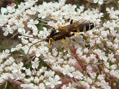 Ichneumon with orange parasite (louise in northumberland) Tags: dungeness dungenesspoint thewatchtower hymenoptera ichneumon unidentified