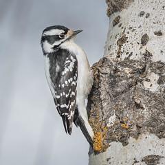 Downy Woodpecker - Female (Turk Images) Tags: aspenparkland downywoodpecker isletlake picoidespubescens alberta birds dowo picidae winter woodpeckers