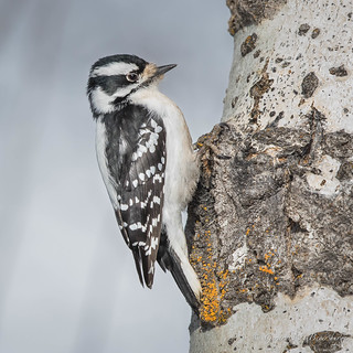 Downy Woodpecker - Female