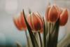 window light... (Jess Feldon) Tags: tulips flowers macro lookslikefilm softtones jessfeldon window light windowlight bokeh dof depth