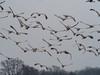 IMGPJ34627_Fk - Migrating Birds - Sandhill Cranes - Jackson Co IN - Ewing Bottoms (David L. Black) Tags: birds sandhillcranes jacksoncountyindiana olympusomdem1mkii olympus300f4014xtc