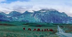 Where the Buffalo Still Roam: Montana: July 1987 (mharoldsewell) Tags: 1987 buffalo georgia july montana mharoldsewell mikesewell photos slides