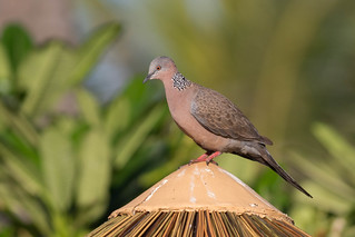 Spotted Dove 7DC_7529 (6/19/18)