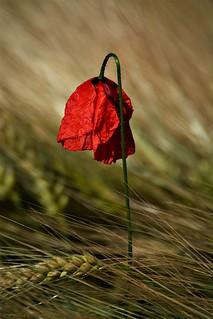 Poppy flower in grain field #10