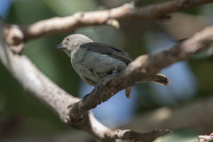Thick-billed Flowerpecker at Udaipur S24A7592 (grebberg) Tags: bird udaipur rajasthan india march 2018 thickbilledflowerpecker dicaeumagile dicaeum flowerpecker