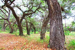 live oak trees at Circle B Bar Reserve FL 854A3863 (lreis_naturalist) Tags: live oak trees circle b bar reserve florida larry reis