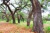 live oak trees at Circle B Bar Reserve FL 854A3863 (lreis_naturalist) Tags: live oak trees circle b bar reserve florida larry reis