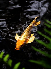 P1140051ta (kneo_y) Tags: carp fish