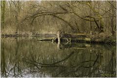 The Curvature (HikerandBiker) Tags: a7rm3 baum bäume calmness flusswanderung fotowalk ilce7rm3 natur nature naturschutz pzphotography protectedlandscape rhein rheinauen ruhe sony sonya7rm3 sonyalpha7rm3 sonyfe70200mmf4goss spiegelung taubergiesen wald wanderung wasser water mirror wandern