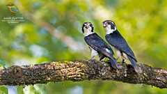 [ Left - Male & Right - Female ] Pied Falconet (Microhierax melanoleucos) 白腿小隼 (左 - 雄 & 右 - 雌) (janetli1818) Tags: