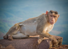 D75_3587 (@sumitdhuper) Tags: wallshare beauty monkey wildlife expression nature
