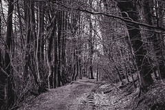 Walk in the woods, Gartmorn Dam, Scotland (picsbyCaroline) Tags: trees forest woods walk branches scotland moody dark winter cold narrow black white wind follow stroll nature