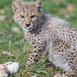 Cheetah cub in the grass thumbnail