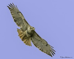 2I1A5630a (lfalterbauer) Tags: redtailedhawk canon 7dmarkii naturephotographer wildlifephotographer avian raptor birdsofprey ornithology yahoo flickr birdwatcher flight wings sky