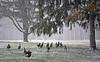 Wild Turkeys-HCS! (☂Rainy Day☂) Tags: turkey turkeys trees woods forest running snow clichesaturday rafter group many large red white black brown animals wild hens toms northwestithaca townofithaca neighbourhood