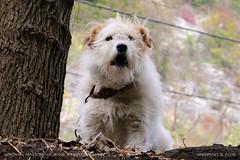 Little guardian (srkirad) Tags: animal dog puppy white fluffy nature outdoor wood travel gornjakgorge serbia srbija tree