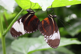 mating Heliconius-butterflies