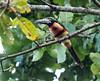 IMG_3392 Collared Aracari (suebmtl) Tags: birding bird toucan collaredaracari pteroglossustorquatus panama elvalledeanton cocleprovince