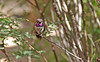 Purple Hummingbird (craigsanders429) Tags: arizona arizonasonoradesertmuseum tucsonarizona hummingbird