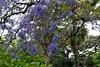 Jacaranda mimosifolia (Jacaranda tree) (birdgal5) Tags: australia newsouthwales sydney hydepark nonnativeintroduction bignoniaceae jacarandatree jacaranda jacarandamimosifolia stmaryscathedral nikon d200 nikond200 1755mmf28g 1755mmf28dx inaturalistorg