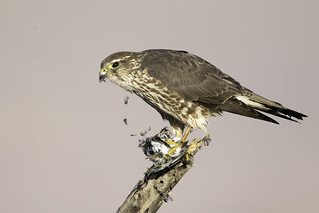 a mouthful of feathers, merlin with a least sandpiper