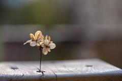 Hydrangea ballerina. (agnieszka.a.morawska) Tags: manualfocus oldlens manuallens helios44m helios44 helios dof flower hydrangea