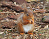 Red Squirrel (eric robb niven) Tags: ericrobbniven scotland tentsmuir forest redsquirrel wildlife nature springwatch