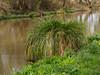 River Wey near Send-E4060243 (tony.rummery) Tags: canal em10 guildford mft microfourthirds nationaltrust navigation omd olympus reeds river stilllife wey woking suttongreen england unitedkingdom gb