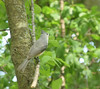 Tufted Titmouse May 2017 (turn off your computer and go outside) Tags: 2017 baeolophusbicolor birdsofminnesotaandwisconsinpage237 carverroehlpark may rockcountyparksystem tuftedtitmouse wi wisconsin bird clearday critter identified nature outdoors spring springtime
