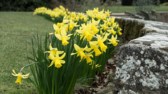 20180322-05_Coombe Abbey Country Park - Daffodils (gary.hadden) Tags: coombeabbey coombepark coventry warwickshire countrypark rambling countrywalking daffs doffodils yellow wall gardens border flowers spring