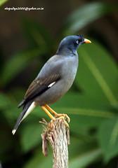 IMG_1627 Jungle Myna (Acridotheres fuscus) (vlupadya) Tags: greatnature animal aves fauna indianbirds jungle myna acridotheres kundapura karnataka