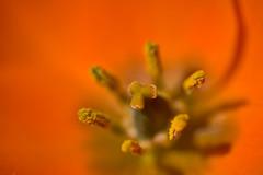 Sun Star detail (pstenzel71) Tags: blumen natur pflanzen samyang100mm28macro sunstar milchstern ornithogalumdubium flower darktable bokeh samsungnx