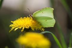 Citron (Instant_T) Tags: papillon citron butterfly insecte pissenlit printemps