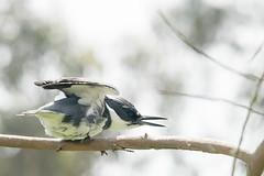 DSC_1071.jpg Belted Kingfisher, Schwan Lake (ldjaffe) Tags: schwanlake twinlakes beltedkingfisher