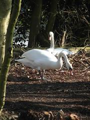 Swans repairing nest (bryanilona) Tags: swans nest island trees himley lake himleyestate himleyhall twigs beak cob pen leaves