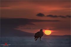 Steller all'alba (luciano.leuzzi) Tags: alba cielo sole mare giappone uccello rapace aquila steller acqua oceano ghiacci inverno nord