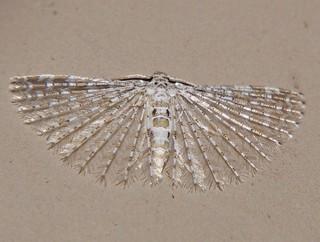 feather wing moth Alucita sp Alucitidae Airlie Beach rainforest P1220246