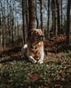 Jackson in Spring (HelloI'mJulia.) Tags: fujifeed fuji fujixt2 fujifilmxt2 xt2 dog lab englishlab yellowlab 35mm 35mmf14