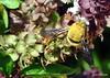 DSC_0369 (RachidH) Tags: bee bumblebee flowers blossoms blooms siwa oasis siwaoasis egypt rachidh nature carpenterbee carpenter xylocopa basilblossoms basil basilic fleursdebasilic