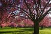 Sakura. (renécarrère) Tags: sakura hanami cerisiersdujapon parcdesceaux