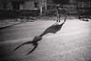 Taurus (*trevor) Tags: asia fujifilm india pushkar taurus travelphotography xt2 blackandwhite bull calf horns road shadow
