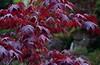 Waterfall 2 (Cathy de Moll) Tags: maple tree leaves wet raindrops red waterfall bokeh garden