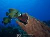 French Angelfish (R. Donald Winship Photography) Tags: aquaticlife cozumel divingunderwater frenchangelfish villablancareef