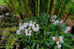 rhododendrons (claude 22) Tags: végétation himalayenne jardindepellinec pellinec penvénan 22710 bretagne france breizh brittany jardinremarquable nature plantes botanic rhododendrons jardin garden parc schefferas bambous fleurs flores blumen fiori flowers trégor cotesdarmor
