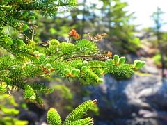 Irving Nature Park, Saint John - New Brunswick (jeffglobalwanderer) Tags: irvingnaturepark naturereserve saintjohn newbrunswick canada coastalpark nature sprucetree forest