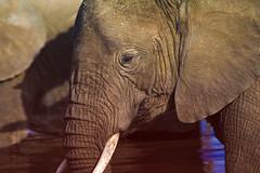 2017.06.23.5919 Elephant (Brunswick Forge) Tags: 2017 safari grouped africa tanzania serengeti nature wildlife favorited