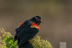 Blackwater National Wildlife Refuge 6/14/18 (AnthonyVanSchoor) Tags: anthonyvanschoor maryland usa redwinged blackbird